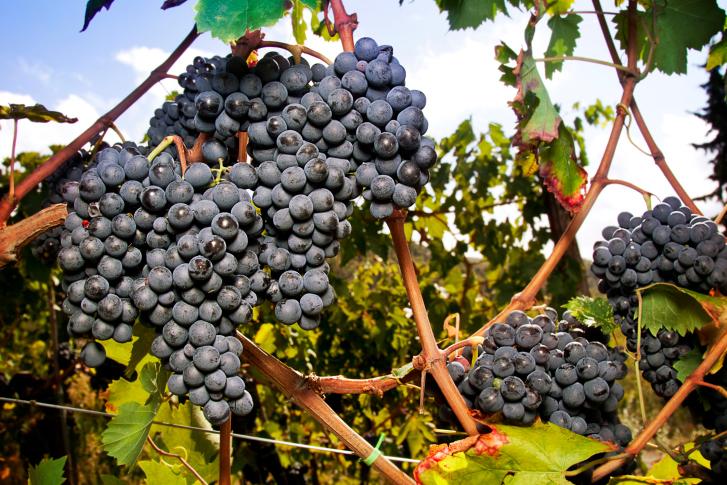 Дорогами Кьянти виноград Санджовезе