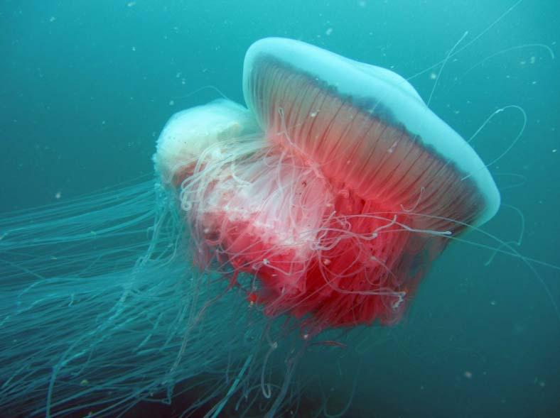 Медуза дримонема