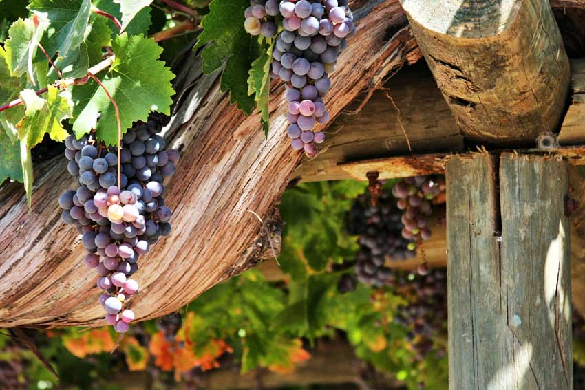 Grapes of Chile
